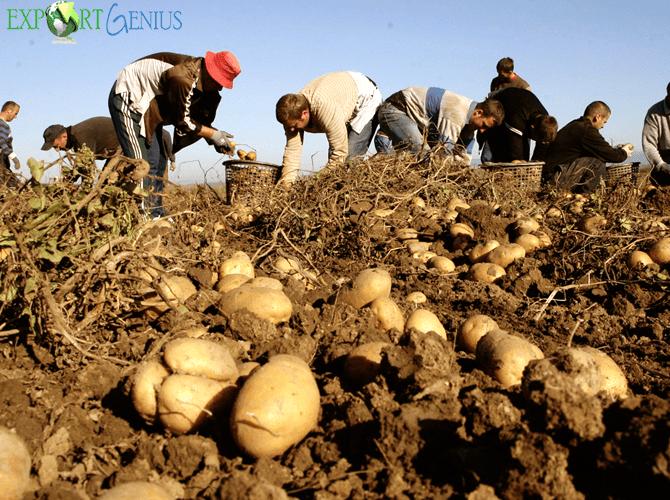 Potato Suppliers in India